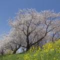 花は桜木 人は・・・。