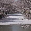 花筏?桜の川?