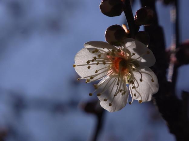 白梅も咲いたのに・・・