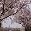 Photos: 桜見