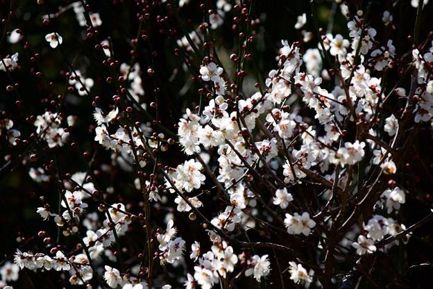 Photos: 梅の春