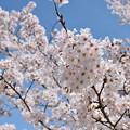 写真: 櫻之花。