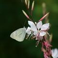 白蝶草に白蝶