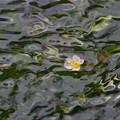 写真: 三島梅花藻