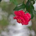 写真: 川辺の山茶花