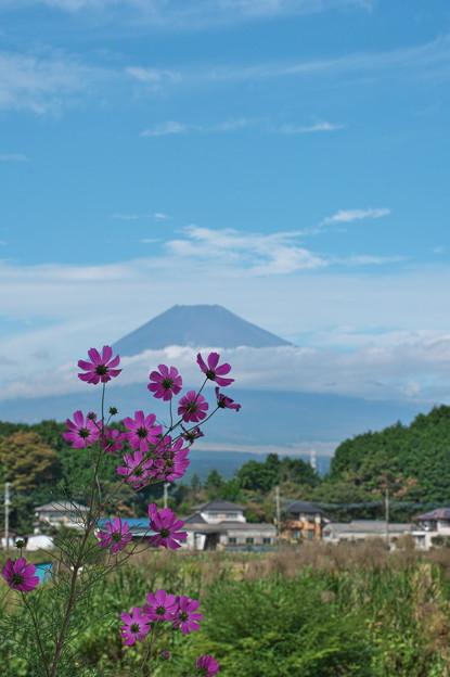 コスモス&富士山