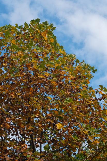 Photos: ユリの木(楓から変更訂正)