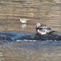 Photos: キジバト水浴-2