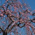 八重紅枝垂れ梅