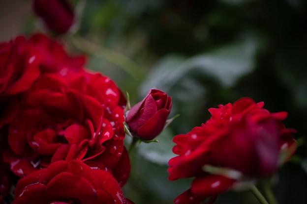 蕾もまた薔薇なりて
