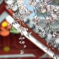 写真: 山寺桜09