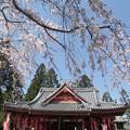 写真: 山寺桜14