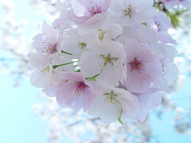 大島桜02