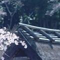 写真: 里山の桜03