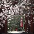 写真: 山寺桜03