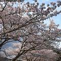 Photos: 残照桜09