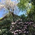 写真: 岡寺シャクナゲ06