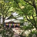 写真: 岡寺シャクナゲ01