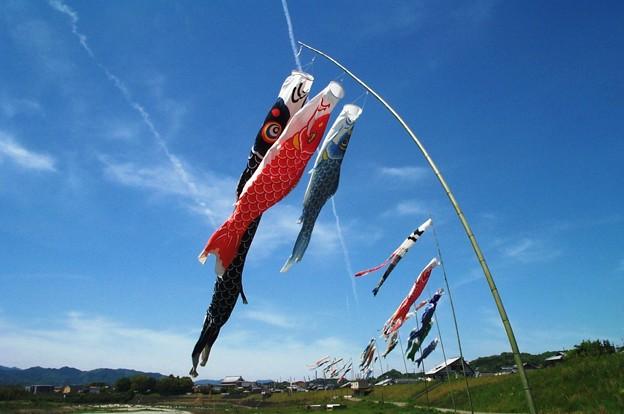 大空を泳ぐ:鯉幟02