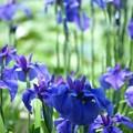藍の煌めき:花菖蒲12
