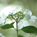 煌めき:紫陽花18