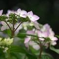 仄かに染めて:紫陽花14