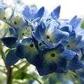 藍の主張:紫陽花05