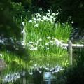 写真: 水鏡:花菖蒲04