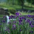 写真: 水辺に咲く:花菖蒲26