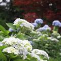 写真: 梅雨の彩り:アジサイ01