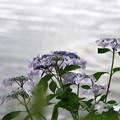写真: 水面に映える:アジサイ09