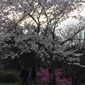写真: 春懐古:残照桜06