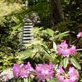 写真: 春懐古:岡寺シャクナゲ11