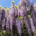 写真: 春懐古:子安地蔵寺フジ01