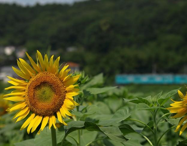 夏のローカル線:ヒマワリ02