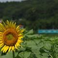 写真: 夏のローカル線:ヒマワリ02