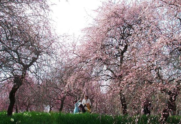 写真: 早春の思い出:枝垂れ11