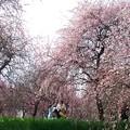 早春の思い出:枝垂れ11
