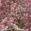 写真: 垂れ桜