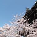 写真: 根来寺の桜