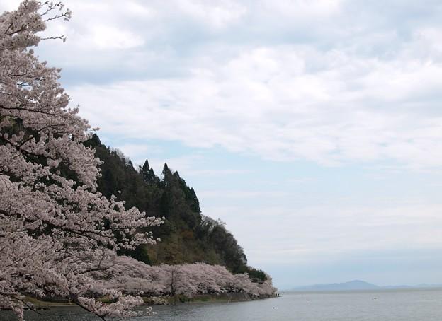 琵琶湖八景:海津大崎桜16