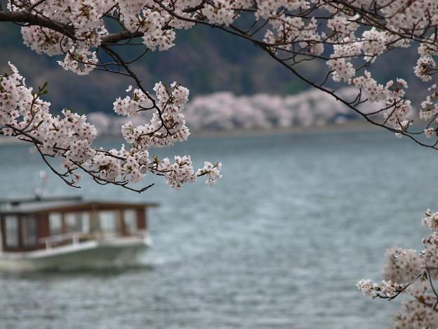 写真: 桜クルージング:海津大崎桜01