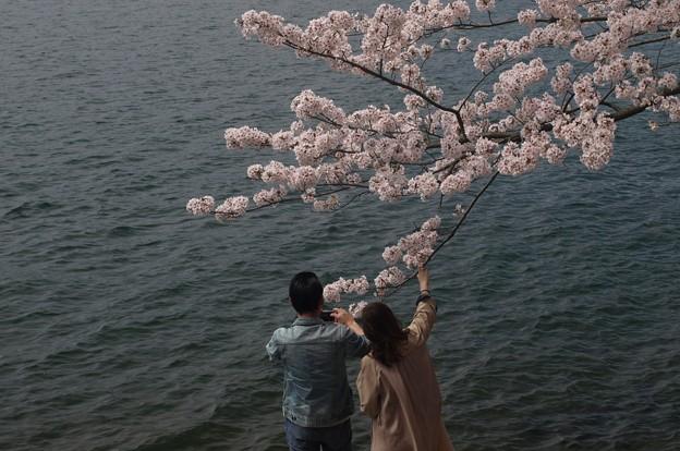 春爛漫:海津大崎桜09