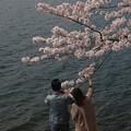 写真: 春爛漫:海津大崎桜09