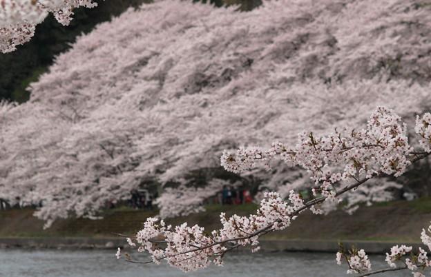 さくらの名所100選:海津大崎桜06