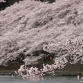 写真: さくらの名所100選:海津大崎桜06