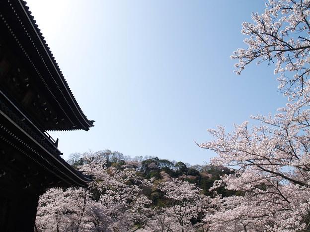 根来寺桜10