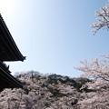 写真: 根来寺桜10
