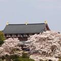 写真: 平城宮跡桜12