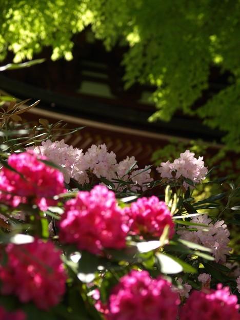 三重塔:石楠花14